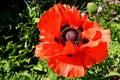 Giant poppy flower Royalty Free Stock Photo