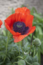 Giant poppy flowers Royalty Free Stock Photo