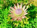 King Protea Cynaroides. New Zealand, Auckland. Royalty Free Stock Photo