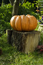 Giant Pumpkin on Stump Stock Image