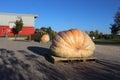 Giant Pumpkins on a Farm