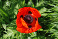 Giant Red Poppy in Sunlight Royalty Free Stock Photo