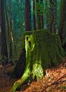 Giant redwood tree moss covered stomp Royalty Free Stock Photo