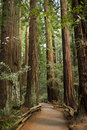 Giant redwood trees in Muir Woods, California Royalty Free Stock Image
