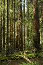 Gigante secoya en bosque