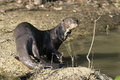 Giant river otter pteronura brasiliensis single mammal by water brazil Royalty Free Stock Photography