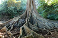 Giant roots big fig tree moreton bay fig ficus macrophylla in allerton garden puipo kauai hawaii usa Stock Photos