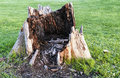 Giant rotten tree stump ugly in the middle of a manicured lawn Stock Image