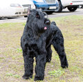 Giant schnauzer looks. Royalty Free Stock Photo