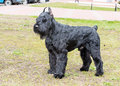 Giant schnauzer waits. Royalty Free Stock Photo