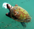 Giant Sea Turtle Stock Photo