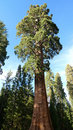 Giant Sequoia Stock Photography