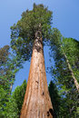 Giant Sequoia Stock Images