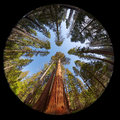 Giant sequoia fisheye view of the trees in mariposa grove yosemite national park california usa Royalty Free Stock Images