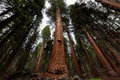 Giant sequoia forest in Sequoia National Park, California Royalty Free Stock Photo