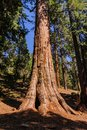 Giant Sequoia in the Grant Grove Royalty Free Stock Photo