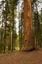 Giant Sequoia National Monument Royalty Free Stock Photo