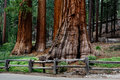 Giant sequoia redwood trees near road in yosemite national park cluster of sequoias are an endangered species Stock Image