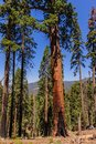 Giant Sequoia in the Sherman Grove Royalty Free Stock Photo