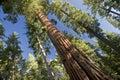 Gigante secoya árbol