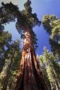 Giant Sequoia tree, Mariposa Grove, Yosemite National Park, California, USA Royalty Free Stock Photo
