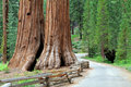 Giant Sequoias Royalty Free Stock Image