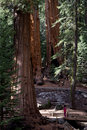 Giant sequoias large trunks in forest of sequoia national park in tulare county california united states Stock Photos