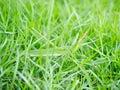 Giant slant faced grasshopper hide in grass Stock Photos