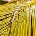 Giant Stick Insect in Zanzibar Royalty Free Stock Photo
