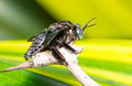 Giant Stingless Bee Royalty Free Stock Photo
