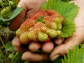 Giant strawberry farmer hand with ripening of special variety Stock Image