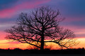 Giant at sundown a tree with no leaves stands in a field silhouetted by a dramatic and colorful sunset sky Stock Images