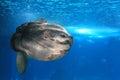 Giant sunfish Royalty Free Stock Photo