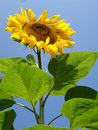 Giant sunflower, heleanthus annuus giganteus Royalty Free Stock Photography