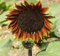Giant sunflower Helianthus annuus Royal Velvet Royalty Free Stock Photos