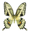 Giant Swallowtail Stock Photography