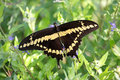 Giant Swallowtail Butterfly (Papilio cresphontes) Royalty Free Stock Photos