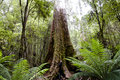 Giant Swamp Gum - Tasmania Royalty Free Stock Photo