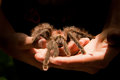 Giant Tarantula spider walking on a person's hands Royalty Free Stock Photos