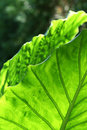 Giant Taro Leaves Royalty Free Stock Photo