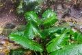 Giant Taro leaves (Alocasia) Royalty Free Stock Photo