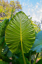 Giant Taro leaves (Alocasia) Royalty Free Stock Photo