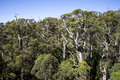 A giant tingle forest view from a Tree Top Walk bridge Royalty Free Stock Photo