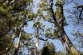 Giant tingle trees near walpole western australia Royalty Free Stock Photos
