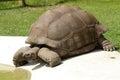 Giant tortoise - Aldabran Tortoise - Geochelone gi Royalty Free Stock Photo
