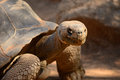 Giant tortoise close up image of a Stock Photography