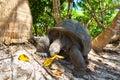Giant tortoise Royalty Free Stock Photo