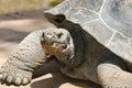 Giant Tortoise Head Close Up