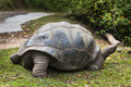 Giant tortoise la digue seychelles a in the hills of Royalty Free Stock Images