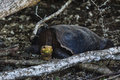 Giant Tortoise with yellow neck and head Royalty Free Stock Photo